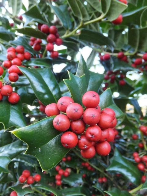 クリスマスに見る赤い実のついた植物の名前は?こんな意味があった!
