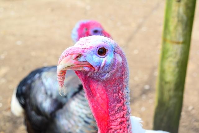 クリスマスに七面鳥を食べるのはなぜ?その理由は感謝祭にあった!
